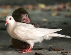 Forgiveness dove monkey